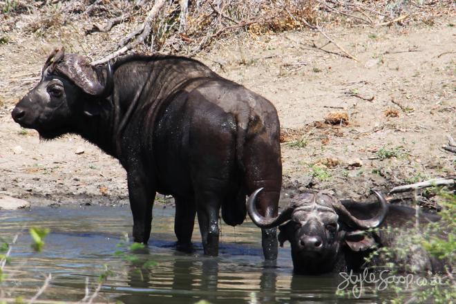 stylescoop-bush-adventure-buffalo