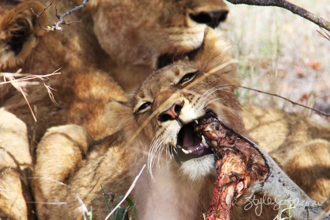 stylescoop-bush-adventure-lioncub