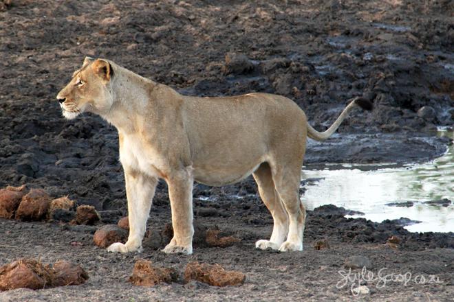 stylescoop-bush-adventure-lions