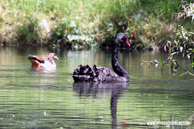 black-swan-irene-farm