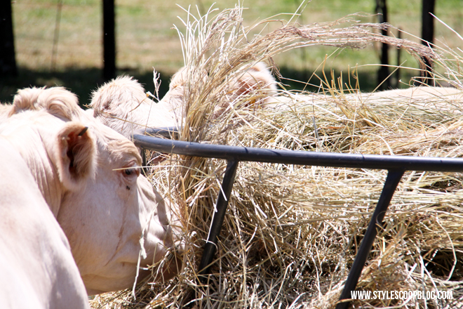 irene-dairy-farm-dairy-cows