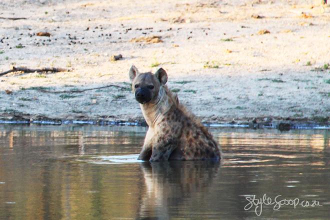 stylescoop-bush-adventure-Hyena