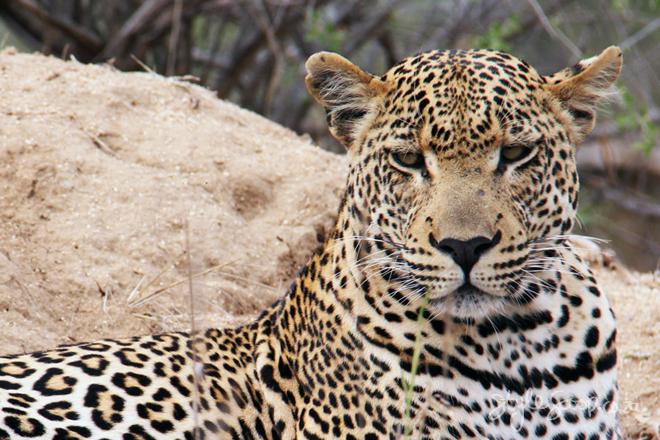 stylescoop-bush-adventure-leopard-2