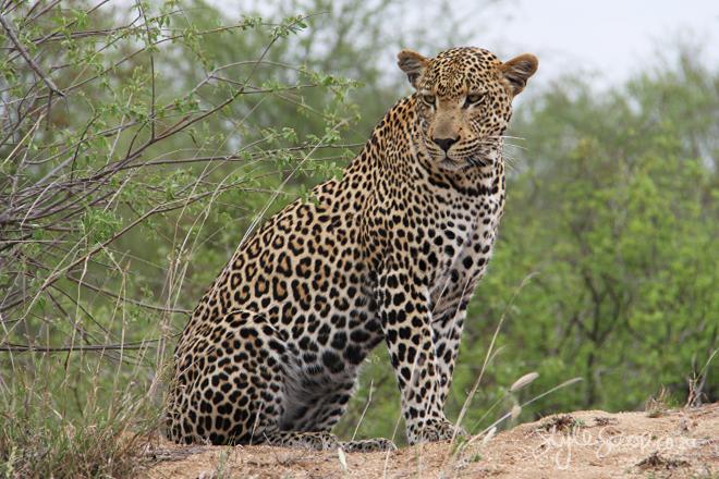 stylescoop-bush-adventure-leopard-3