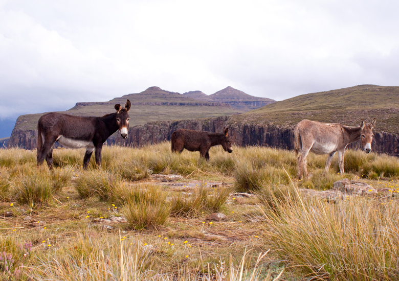 lesotho-sani-pass-adventure-blog-lifestyle-south-africa-stylescoop---at-the-top-donkeys