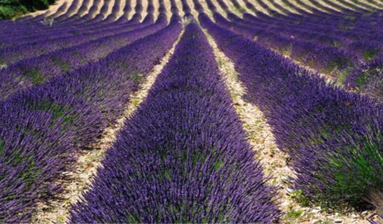loccitane-lavender-fields-in-provence